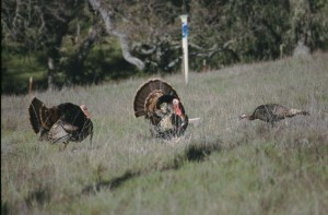 Two tom turkeys court a hen. Photo: Alan Krakauer