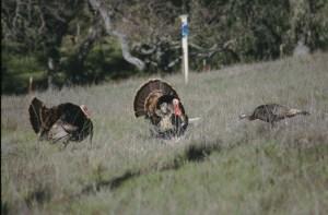 Two tom turkeys court a hen. Photo: Alan Krakauer