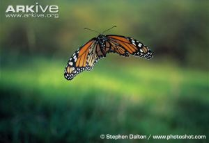 Monarch-butterfly-in-flight
