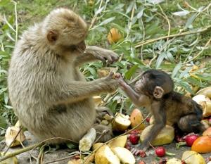 monkeys-fruit