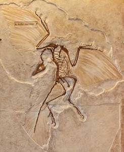 Image from: http://www.scienceviews.com/dinosaurs/archaeopteryx.html