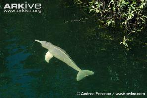 Boto-swimming-at-surface