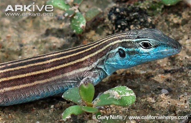 Arizona striped whiptail. Photo credit: Greg Nafis.