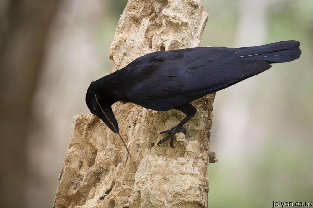 New Caledonian Crow. Image Copyright Jolyon Troscianko