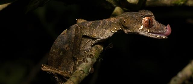 Ursoplatus phantasticus (satanic leaf-tailed gecko; PC_ Shea Lambert)