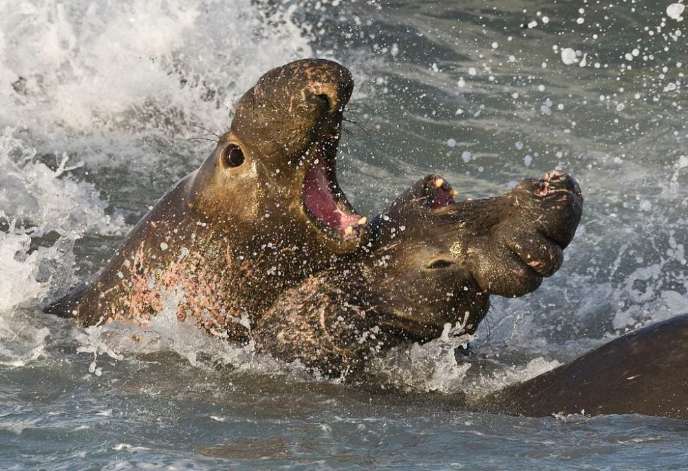 1024px-Elephant_seals_fighting