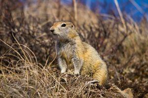 Arctic_Ground_Squirrel_(7956346894)