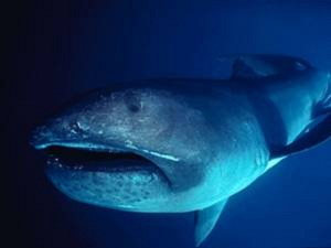 Megamouth Shark