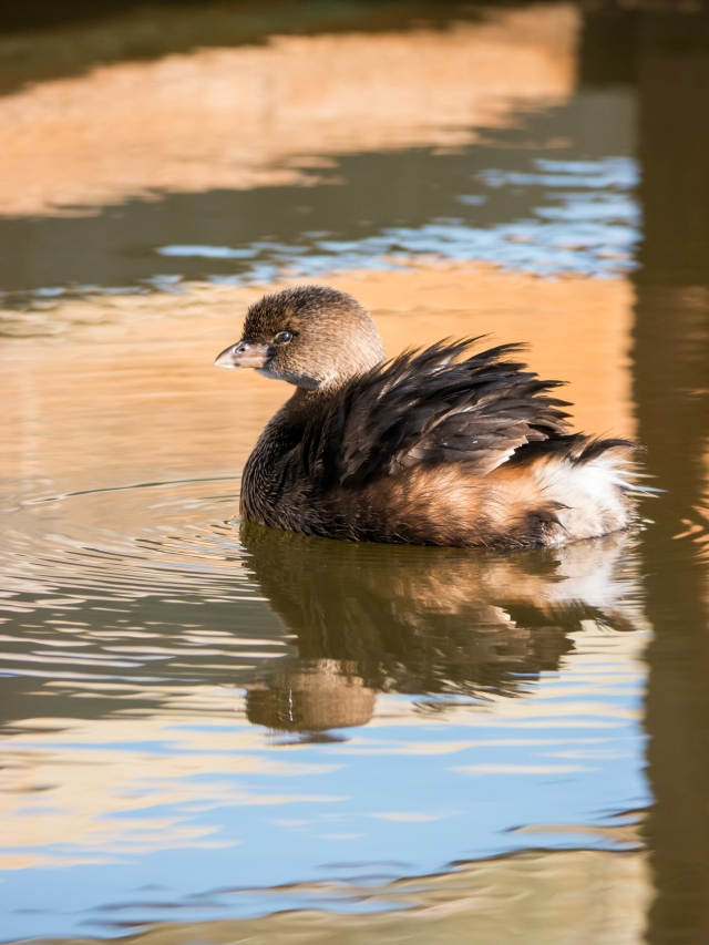 pied-billed grebe (pc_ Tez)