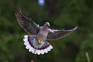 Band-tailed Pigeon in flight