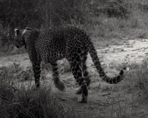 Some animals like leopards (pictured here) are difficult to observe. This individual has been fitted with an accelerometer, which can record what they are up to.