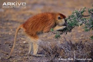 © Anup Shah / naturepl.com