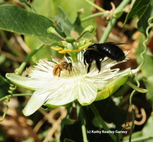 A female Valley Carpenter Bee and a Honey Bee feeding from a Passion Flower blossum.