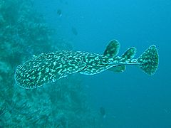 Black-spotted Torpedo Ray