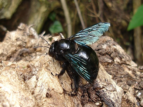 Female Valley Carpenter Bee