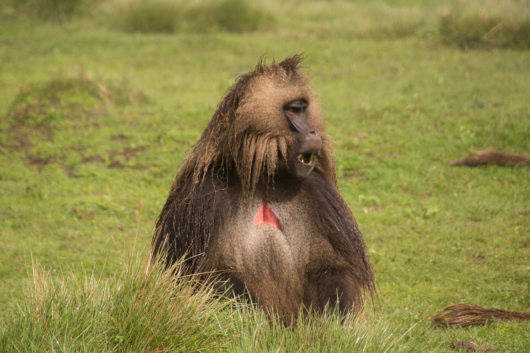 a study on the reproductive behaviors of wild geladas during takeovers While observing gelada monkeys during field studies,  life span in the wild is 19  and sociological studies of gelada baboons reproductive behavior.