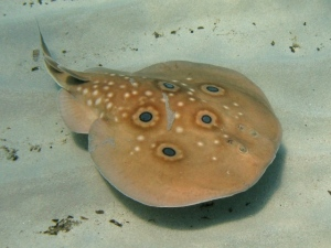 Common Torpedo Ray