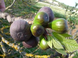 Black Figs.