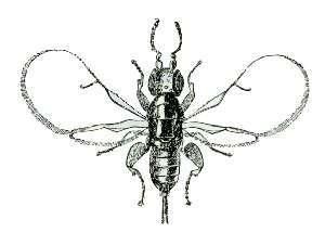 Female fig wasp (Blastophaga psenes)