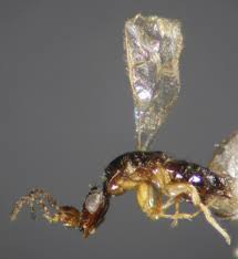 Female fig wasp.