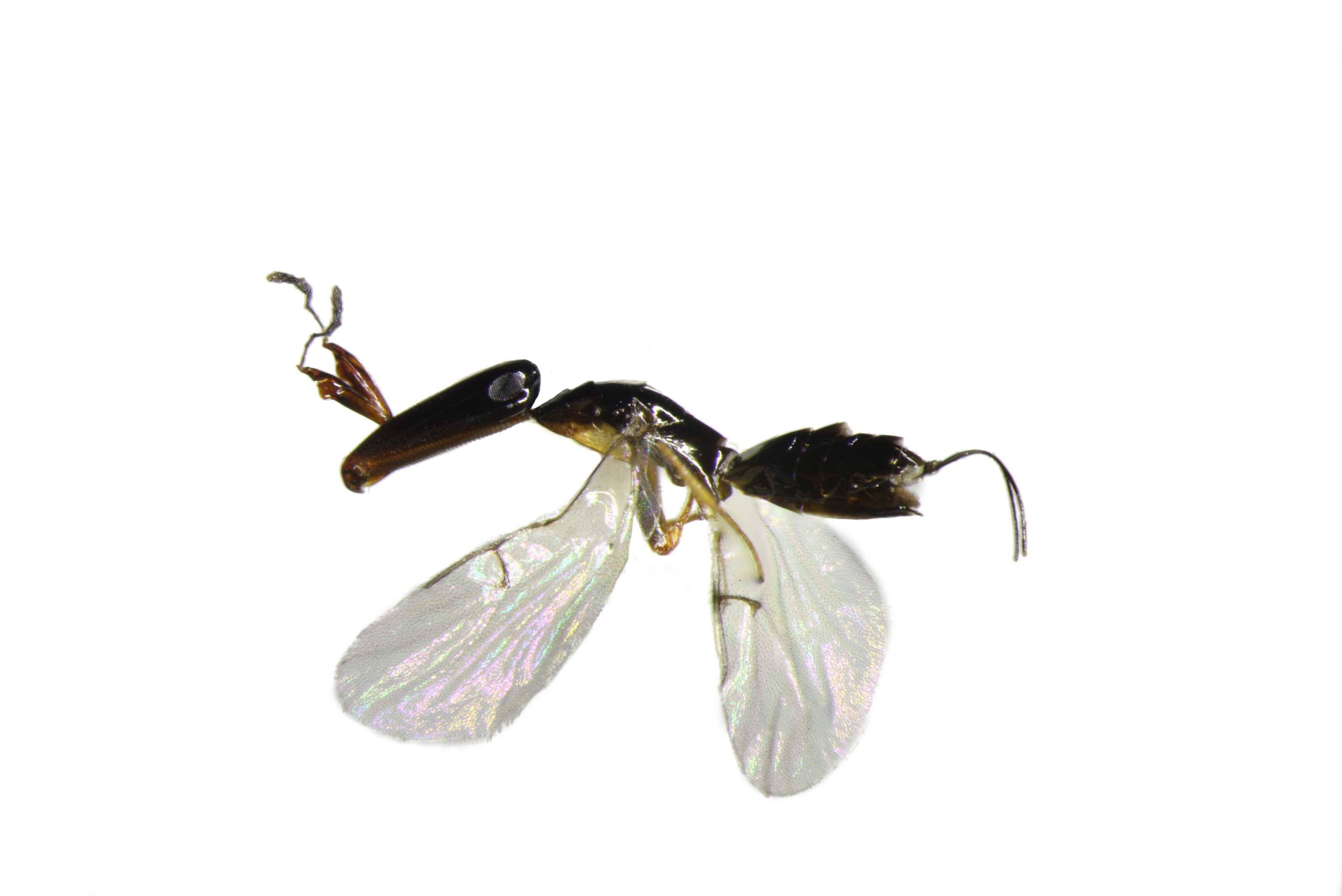 Creature Feature: Fig Wasp