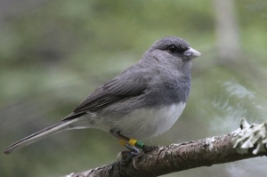 Dark-eyed Junco (Junco hyemalis).  Photo by Carla Vanderbilt.