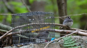 Example of a simulated social interaction.  The wild, male junco on the right approaches the caged, female junco and sings a whispered courtship song.  Photo by Joe Welklin.