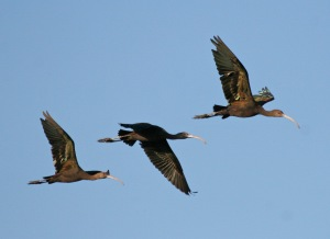 White-faced Ibis, flying (Duck Ponds, August)