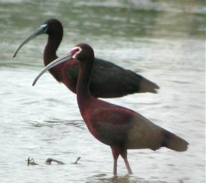 Adult White-faced Ibis.