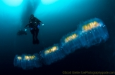 Large colony of salps.