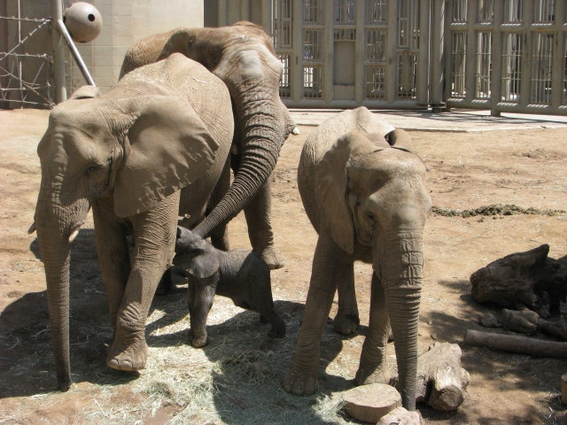 Zoo African elephants interacting. Photograph by Brian Greco.