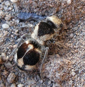 Female Panda Ant.