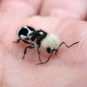 Female Panda Ant on the hand of some brave human.