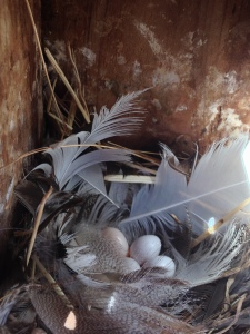 Tree Swallow nest lined with feathers