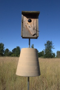Tree Swallow nest box with 'predator guard'