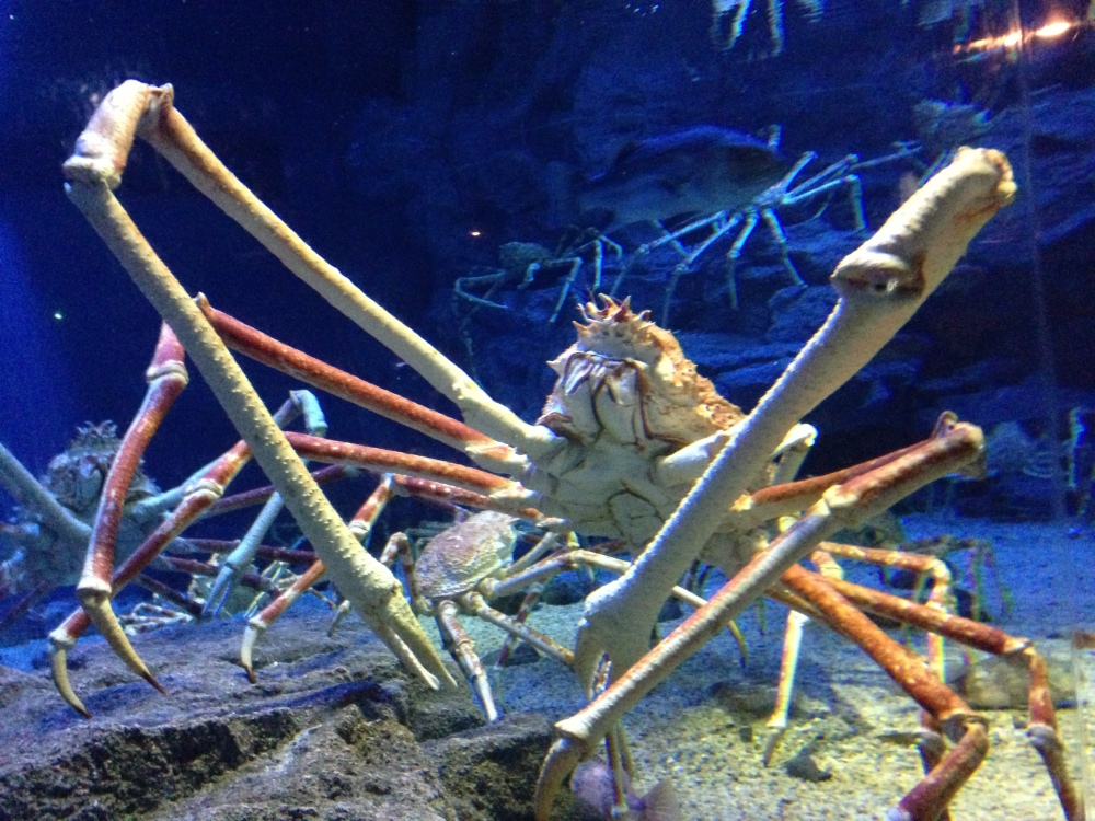 Japanese spider crab 3