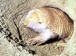 Pink Fairy Armadillo at the entrance to its burrow.