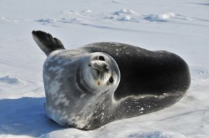 Weddell Seal basking on the ice.