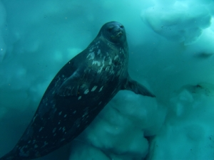 Weddell Seal under water off the coast of Antarctica.