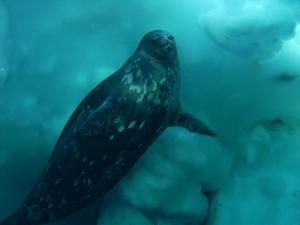 Weddell Seal under water off the coast of Antarctica.
