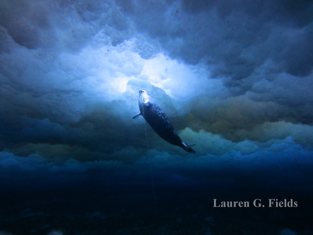Weddell Seal surfacing from under the ice to breathe.