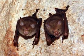 Kitti's Hog-nosed Bats hanging in a roost cave.