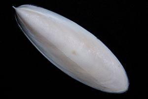 1024px-Cuttlefish-Cuttlebone2