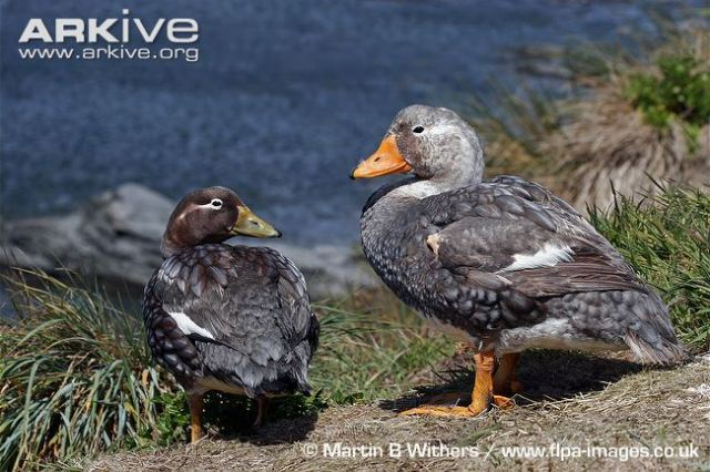 falkland-steamerducks-male-right-and-female-left