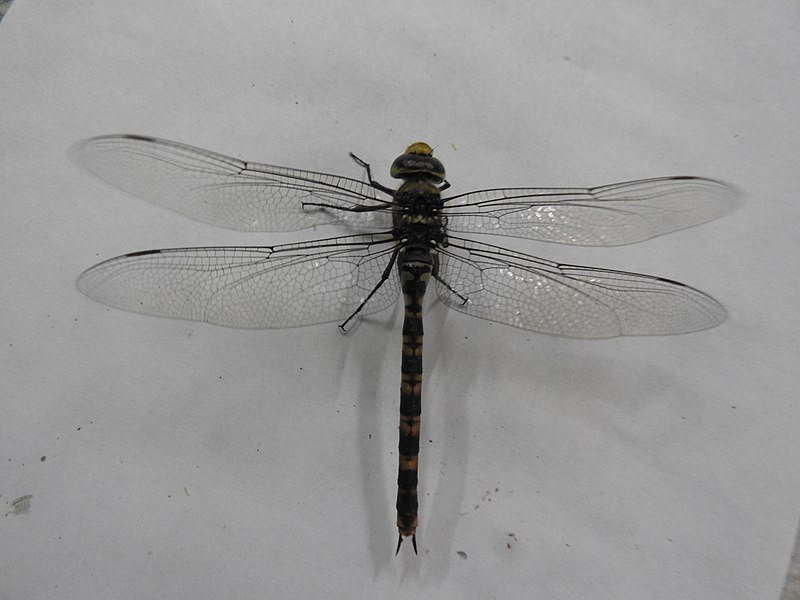 800px-Dragonfly-11-yercaud-salem-India
