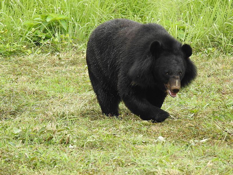Asian_Black_Bear_Ursus_thibetanus_by_Dr._Raju_Kasambe_06