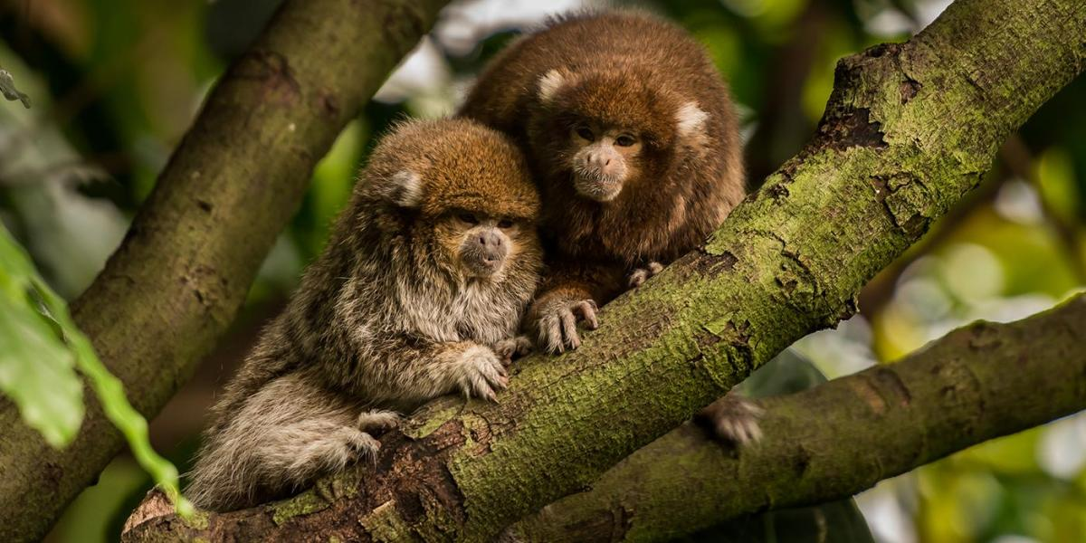 Creature Feature: Titi monkeys
