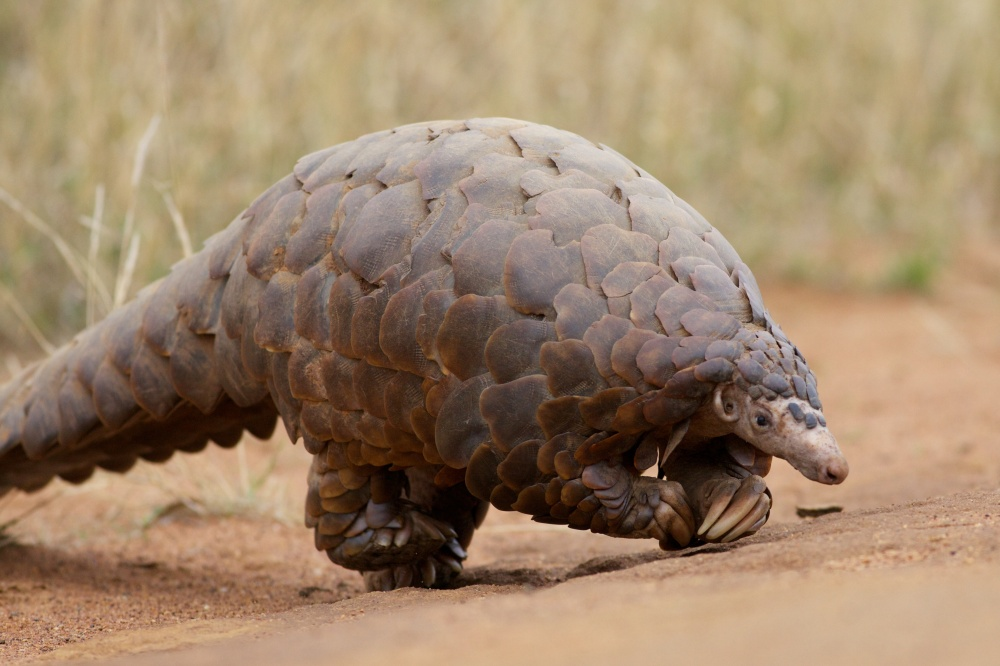 Scaly Anteater actually walks on its hind feet.  It uses its front feet for balance.