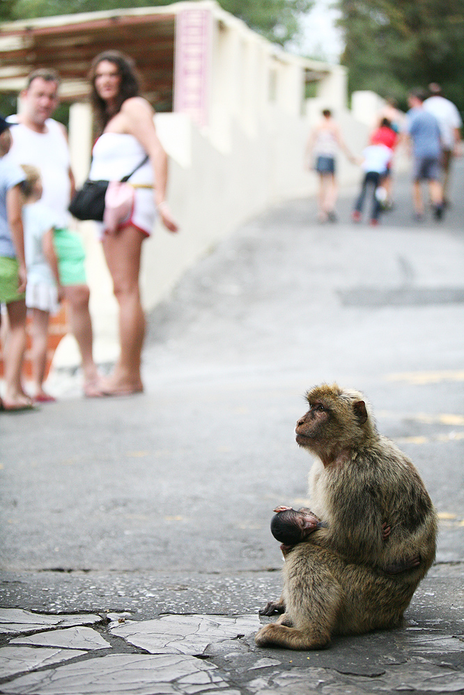 Barbary_macaque_and_tourists