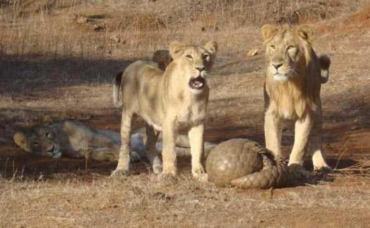 Pangolin_defending_itself_from_lions_(Gir_Forest,_Gujarat,_India)